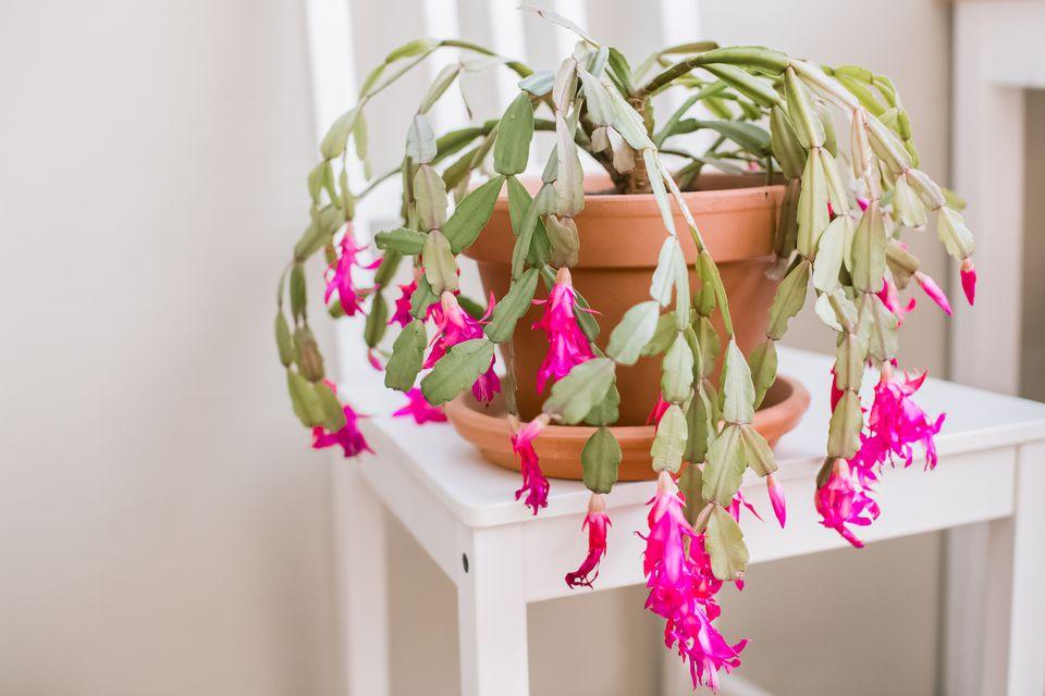Cactus de Noël avec soucoupe.