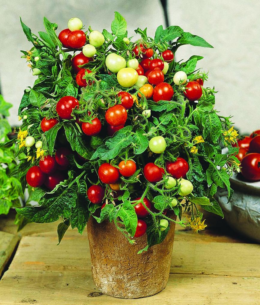 Mini-tomate 'Micro Tom'.