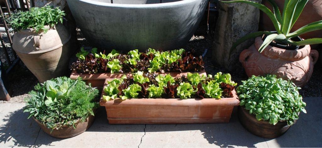 Jardins en bacs et pots, notamment avec laitues.