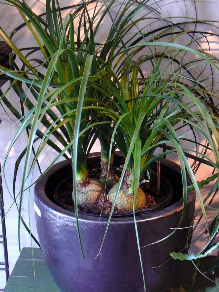 4 petits beaucarnéas plantés dans un seul pot.