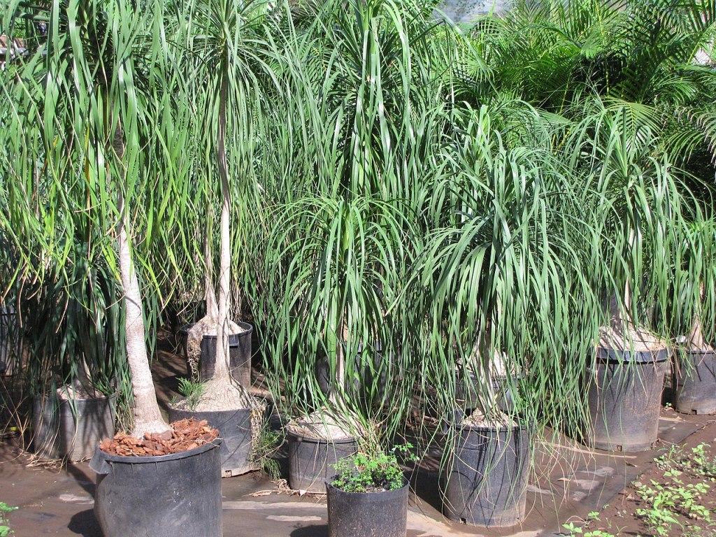 Plusieurs beaucarnéa en pépinière, tous avec un tronc fuselé et une seule couronne de feuilles.