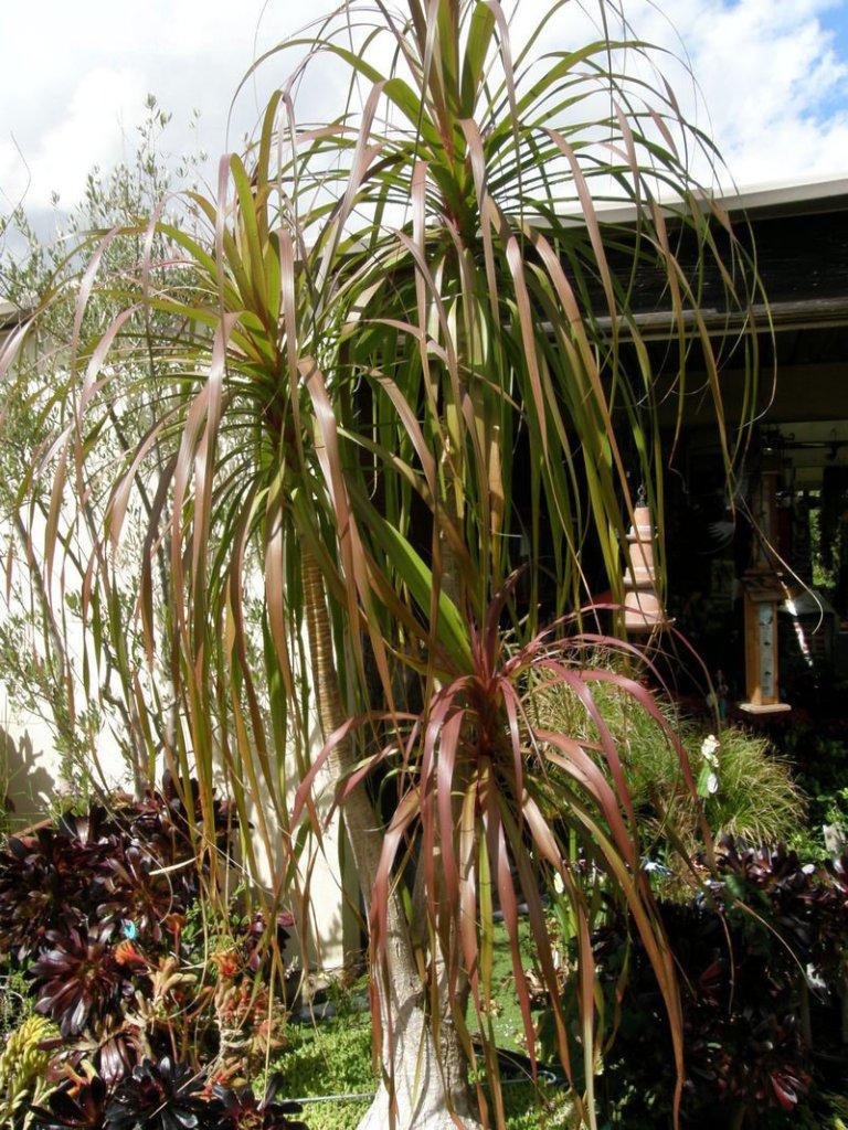 Beaucarnéa aux feuilles rougeâtres