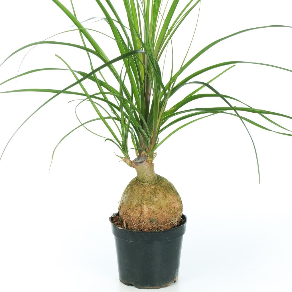 Beaucarnéa cultivé serré dans son pot.