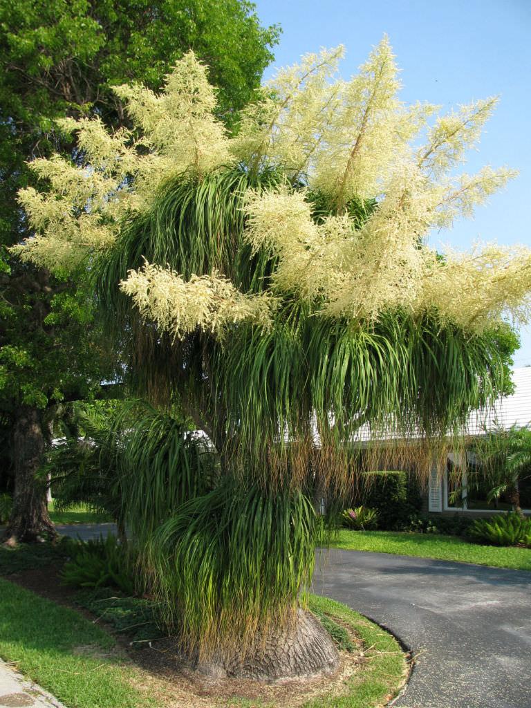 Beaucarnéa mature planté en pleine terre sous les tropiques. Gros bouquets de fleurs blanches.