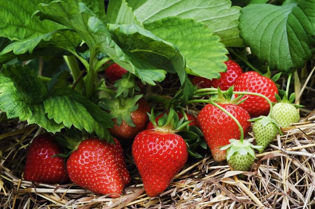 Fraises rouges sur un fraisier, entourés de paillis