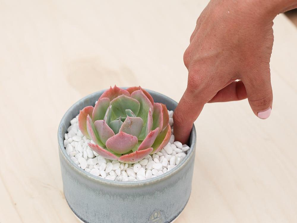Finger inserted into a pot with a pink and blue echeveria. White gravel covers soil.