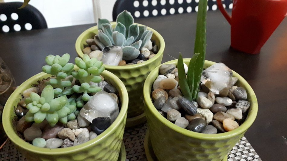 3 succulents in green pots with ice cubes on the top.